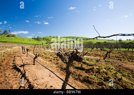Rows of grapevines in the Barossa Valley, South Australia, AUSTRALIA - Stock Photo