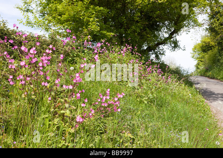 Red Campion flowering on a verge beside a Cotswold lane at Bagpath, Gloucestershire - Stock Photo