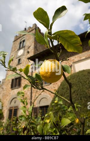 Lemon tree, Castello di Querceto, Greve in Chianti, Italy. April 23, 2009. - Stock Photo