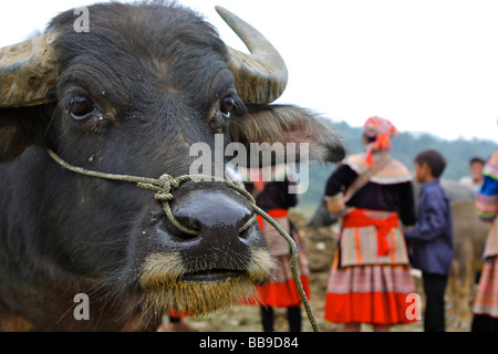buffalo portrait on the bac ha market - Stock Photo
