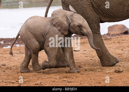 young African Elephant baby Loxodonta africana THE ARK ABERDARE NATIONAL PARK KENYA East Africa