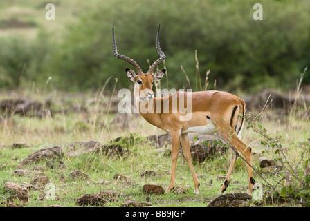 male Impala Aepyceros melampus Masai Mara NATIONAL RESERVE KENYA East Africa - Stock Photo
