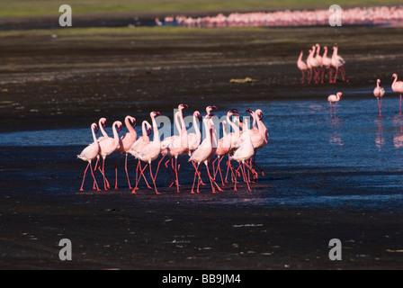 flamboyance of Lesser Flamingos, courtship display,  Phoenicopterus minor, NAKURU NATIONAL PARK KENYA EAST Africa - Stock Photo