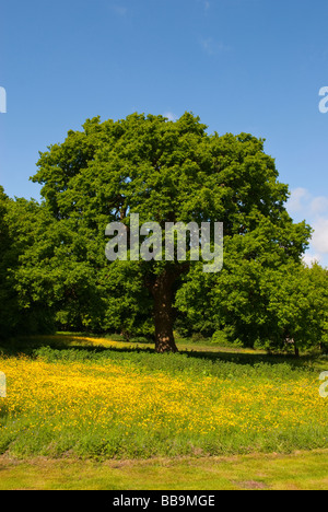 An oak tree in spring in a meadow full of buttercups and a blue sky background - Stock Photo