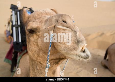 India Rajasthan Jaisalmer camel trek in the sand dunes of the Kanoi region near the border with Pakistan - Stock Photo