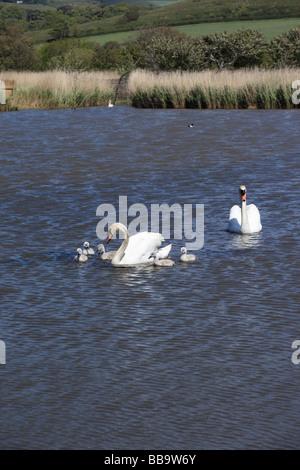 Family of swans at Abbotsbury Swannery Dorset England - Stock Photo
