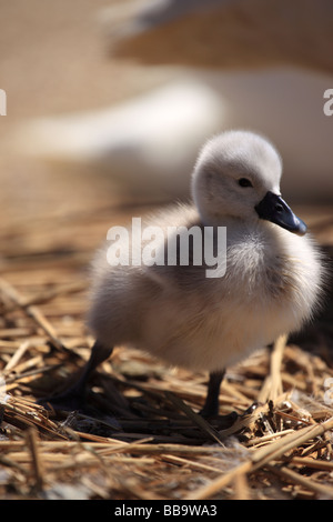 Newly hatched baby cygnet at Abbotsbury Swannery Dorset England - Stock Photo