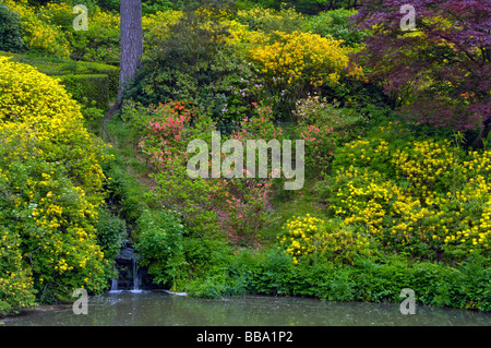 Waterfall By Yellow Azaleas Rhododendron Luteum Emptying Into Waterfall Pond at Leonardslee Gardens West Sussex - Stock Photo
