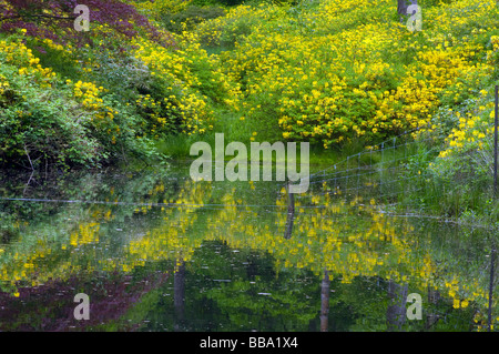 Yellow Azalea Rhododendron Luteum and Their Reflections In Mossy Ghyll Pond at Leonardslee Gardens West Sussex England - Stock Photo