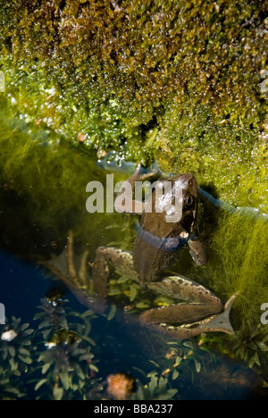 Immature Common Frog (Rana temporaria, c2yr old) by Garden Pond - Stock Photo