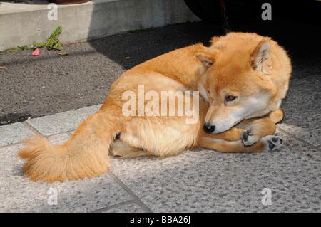 Hokkaido dog, Ainu dog, Ainu Inu, Hokkaido-Ken, Japanese dog breed, common pet dog, Kyoto, Japan, Asia - Stock Photo