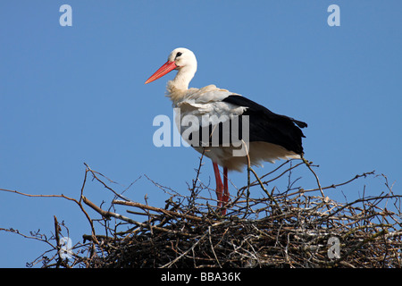 White stork (Ciconia ciconia) on nest, stork village Bergenhusen, Schleswig-Holstein, Germany - Stock Photo