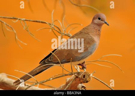 Laughing Dove (Streptopelia senegalensis), the Al Ain Zoo, Al Ain, Abu Dhabi, United Arab Emirates, Arabia, the - Stock Photo