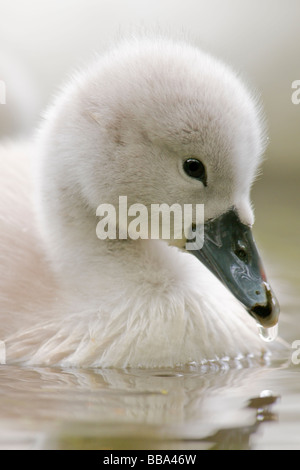 Mute Swan Cygnet - Stock Photo