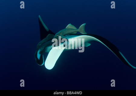 Giant Manta Ray Manta birostris underwater - Stock Photo