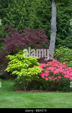 Pacific northwest garden at the forest edge with pink rhododendron R Cary Ann and colorful maples Golden Full Moon - Stock Photo