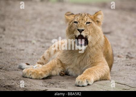 young male lion roaring - Panthera leo - Stock Photo