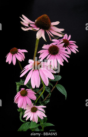 Sonnenhut Purpur Purple Coneflower 15 - Stock Photo