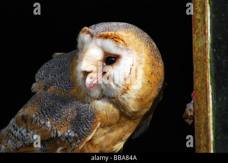 The barn owl tyto alba is the most widely distributed for Food bar owl