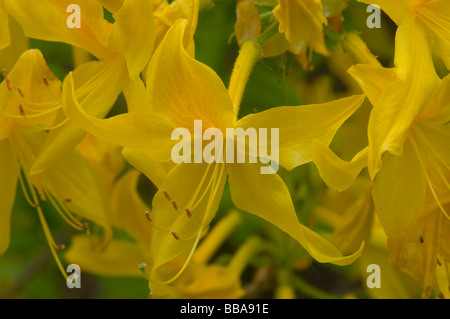 Yellow Azalea Rhododendron Luteum - Stock Photo