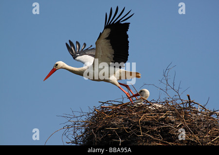 Pair of nesting White Storks (Ciconia ciconia), couple, Adebar, Storchendorf, Bergenhusen, Schleswig-Holstein, Germany - Stock Photo