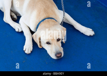 Dog lying on blue surface and looking up, Golden Retriever, Labrador - Stock Photo