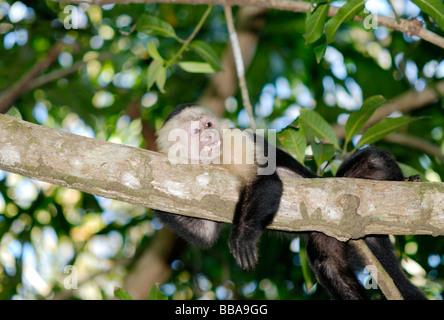 White-faced capuchin monkey, Costa Rica - Stock Photo