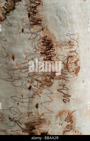 Pattern on the bark of Scribbly Gum or Eucalyptus Signata NSW Australia - Stock Photo