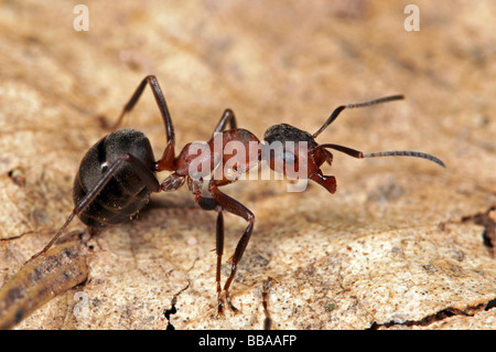 Red wood ant (Formica polyctena) - Stock Photo