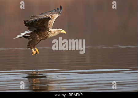 White-tailed Eagle, Sea Eagle (Haliaeetus albicilla) - Stock Photo