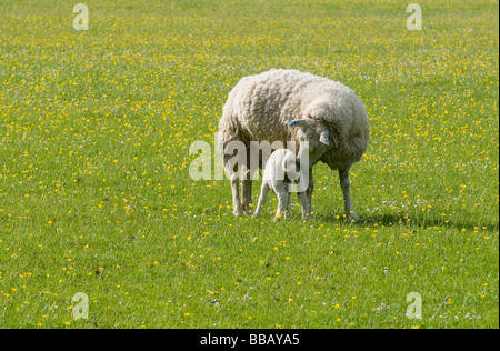 SHEEP IN A FIELD OF BUTTERCUPS IN THE CHILTERNS - Stock Photo