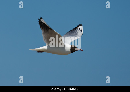 Adult Black-headed Gull (Larus ridibundus) in flight Dunwich, Suffolk, UK - Stock Photo