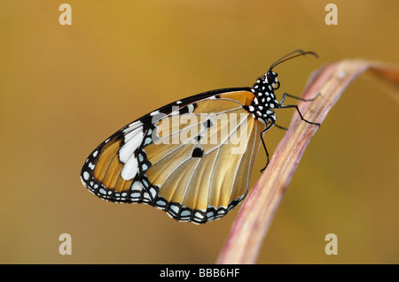 Plain Tiger butterfly (Danaus chrysippus) on Phi Phi Island, Thailand - Stock Photo