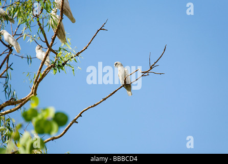 Little Corella (Cacatua sanguinea) also known as the Bare eyed Cockatoos in Kakadu National Park, Northern Territory, - Stock Photo