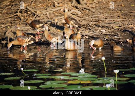 Plumed whistling ducks (Dendrocygna eytoni).  Yellow Water Wetlands, Kakadu National Park, Northern Territory, AUSTRALIA - Stock Photo