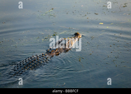 Saltwater crocodile (Crocodylus porosus).  Yellow Water Wetlands, Cooinda, Kakadu National Park, Northern Territory, - Stock Photo