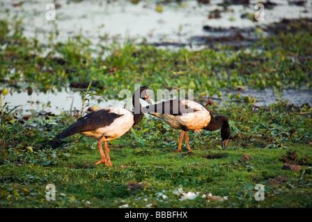 Magpie geese (Anseranas semipalmata) in the Yellow Water Wetlands.  Cooinda, Kakadu National Park, Northern Territory, - Stock Photo
