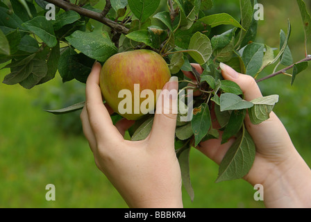 Apfel apple 22 - Stock Photo