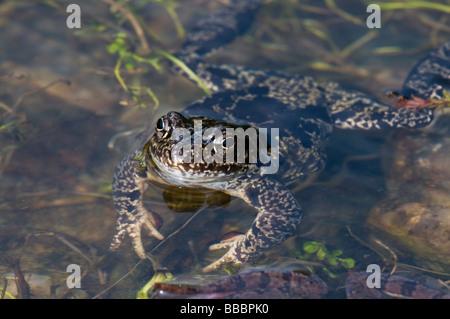 Common Frog (Rana temporaria) among spawn - Stock Photo