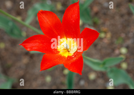 """Typhoon"" (Lily Flowered Tulip) - Stock Photo"