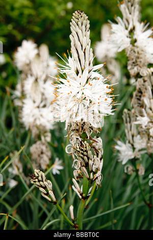 White Asphodel (Asphodelus albus) - Stock Photo