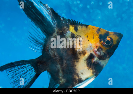 portrait of a three coloured longfin angel fish scalare Pterophyllum scalare blue background orange black white - Stock Photo