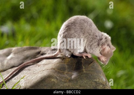 House Mouse (Mus musculus) sitting on a rock while rubbing its ears with its front paws - Stock Photo