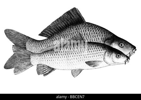 Common Carp, European Carp (Cyprinus carpio), cultivated form (rear) and wild form (front) - Stock Photo