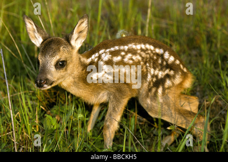 European Roe Deer (Capreolus capreolus). Fawn standing in grass - Stock Photo