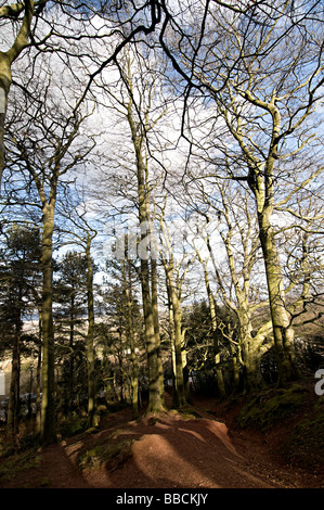 trees on the clent hills adams hill in worcestershire - Stock Photo