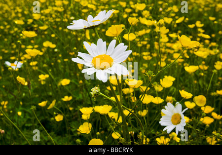 Buttercups and daisies growing in a field - Stock Photo