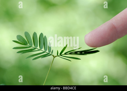 Sensitive plant, Mimosa pudica.  See image BBD4CF for the 'before stimulation' shot in the sequence. - Stock Photo
