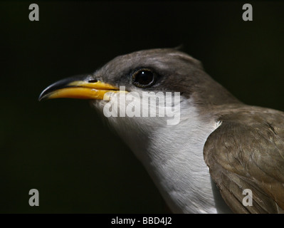 Close up of a Yellow Billed Cuckoo (Coccyzus americanus). - Stock Photo