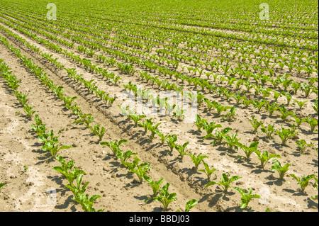 sugarbeet sugar beet row fertile prolific field crop order ordering in-line line farmer farm farming grow growing - Stock Photo